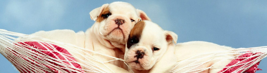 French Bulldog Puppies For Sale English Bulldog Puppies For